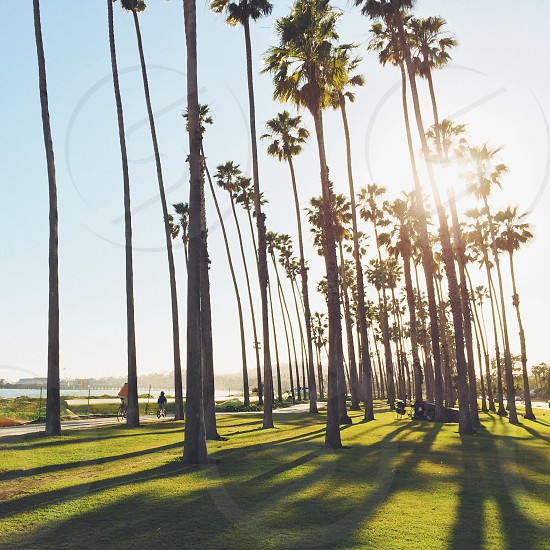 coconut palm trees  photo