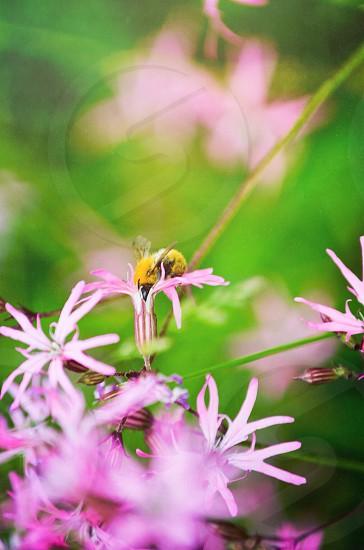 yellow bumblebee on pink flower photo