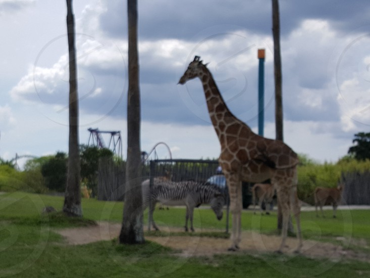 Giraffes and zebras at Busch Gardens Tampa photo