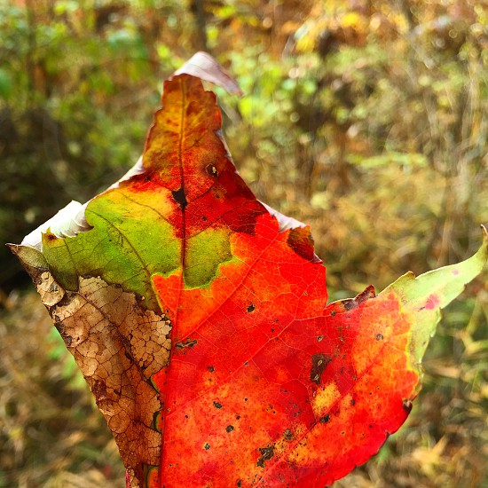 Complete fall season in one leaf  photo