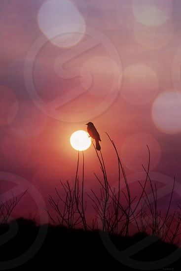 Catching the Sunset - Redwing Blackbird in the sunset photo