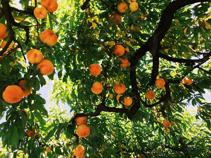 orange peach tree photo