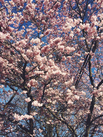 maple flower  photo