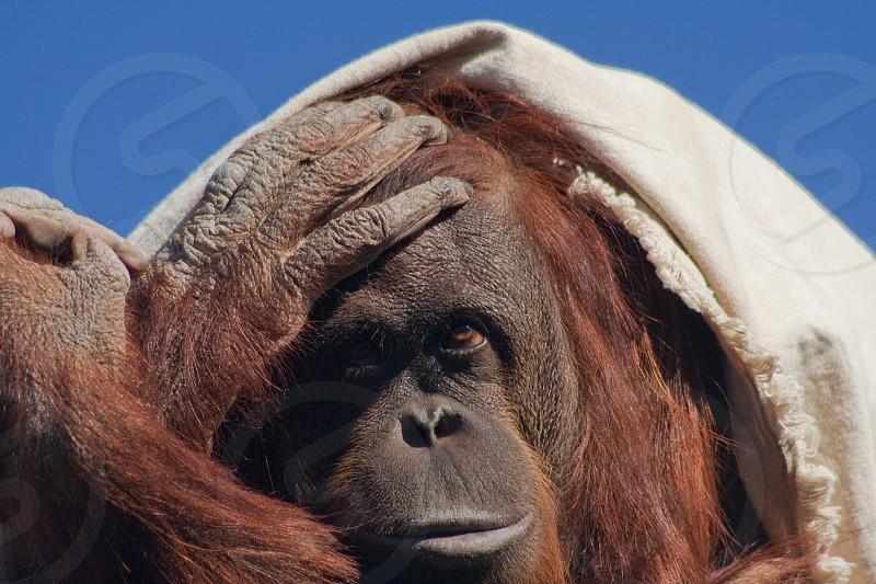 Orangutan frustrated parent mom give me patience tough parenting photo