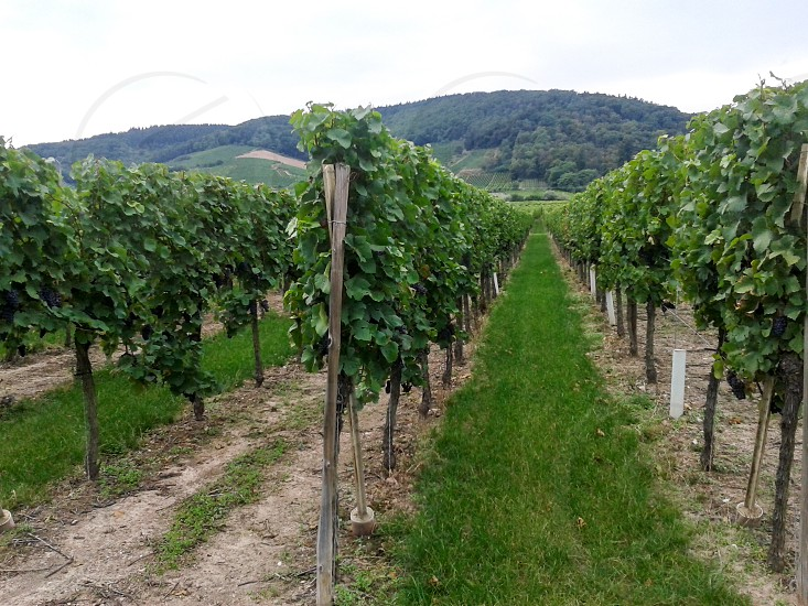 wineyards in France in the Alsace area where famous white wines are produced. photo