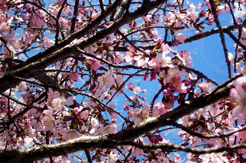 Pink spring blossoms; Salem Massachusetts photo