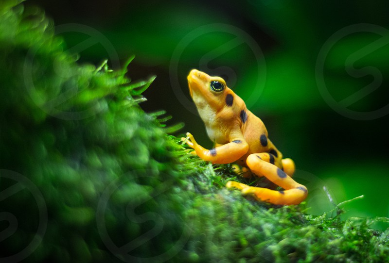 Reptile frog amphibians spotted yellow  photo