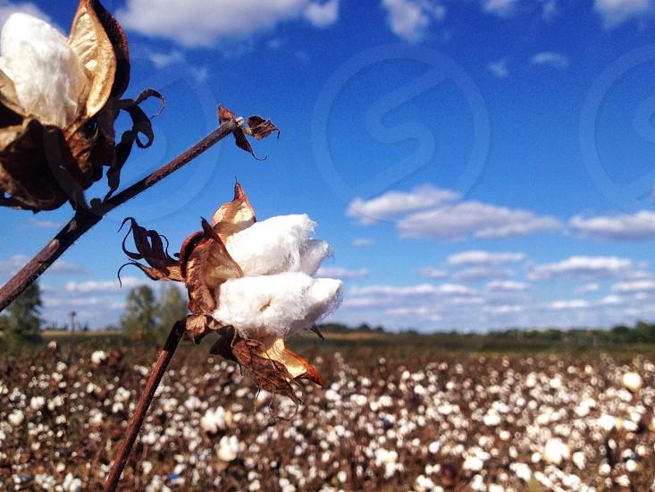 white flower fileds  photo