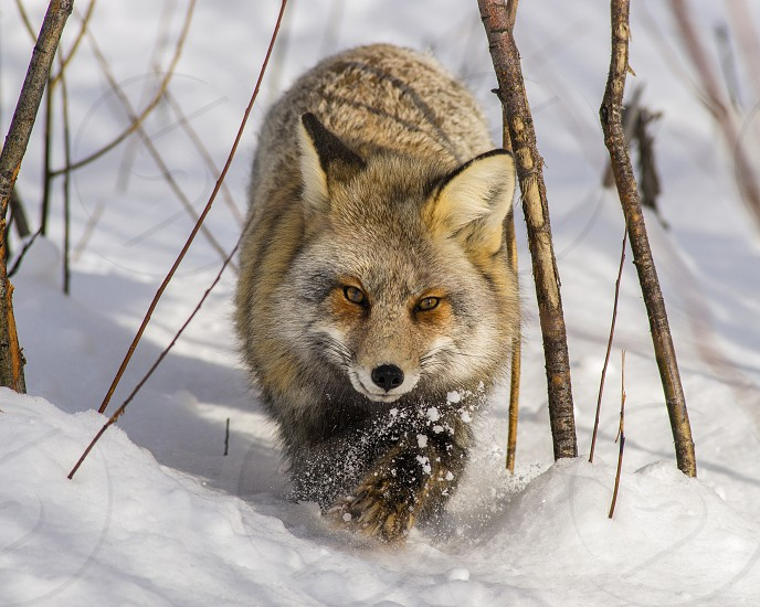 Cross fox stalking through the snow in Wyoming photo
