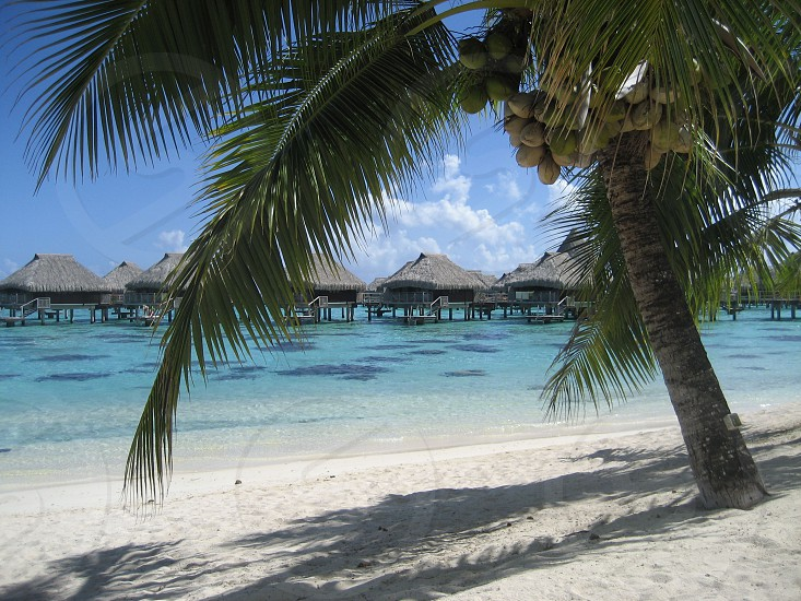 coconuts palm tree over the water bungalows Tahiti photo