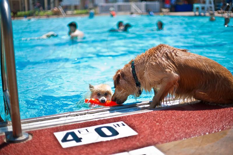 orange long haired large dog near the swimming pool photo
