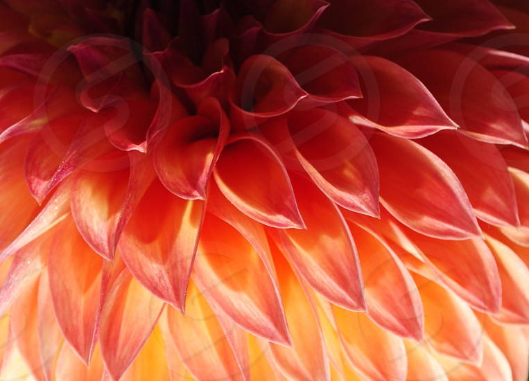 Dahlia Flower Petals Peach Salmon Yellow Garden Home Spa Salon Hotel   photo