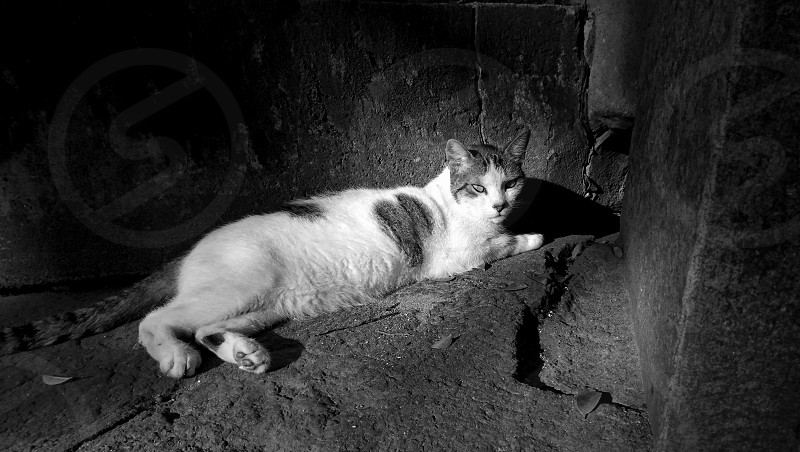 cat feline animal nature domesticated pose expression contrast light sunlight black and white photo