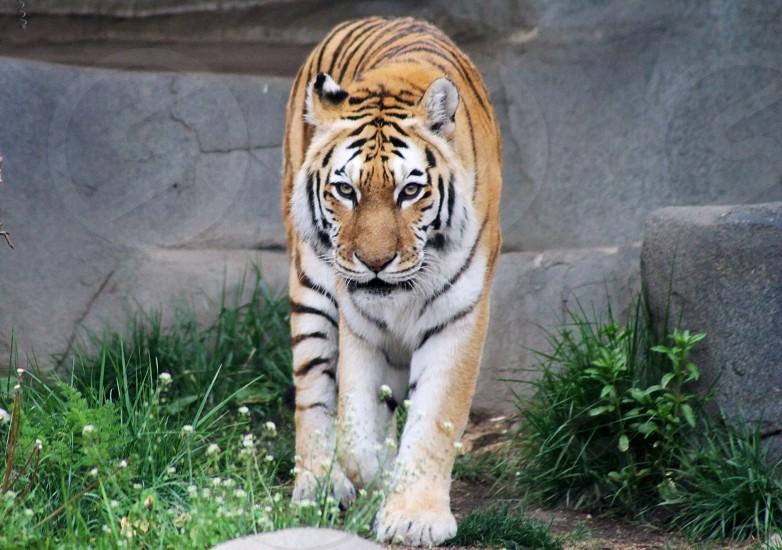 Tiger stare animals eyes photo