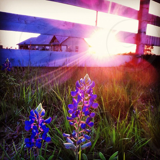 Bluebonnets in the hill country of Texas photo