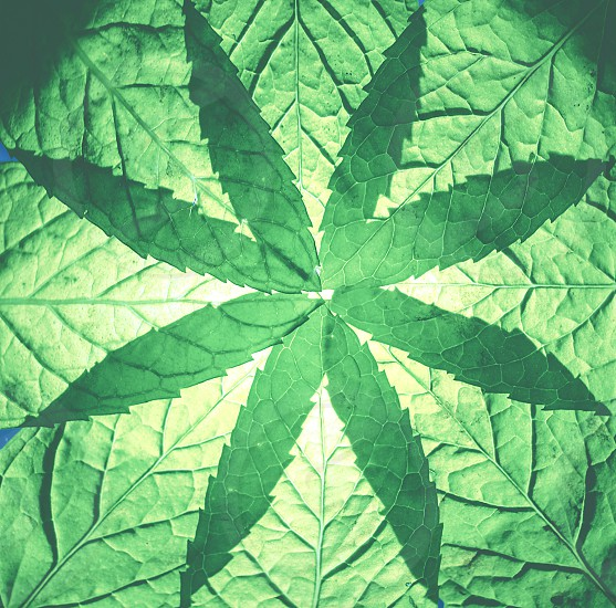 A group of mint leaves making a kind of star. That seems. That looks like a kaleidoscope figure photo