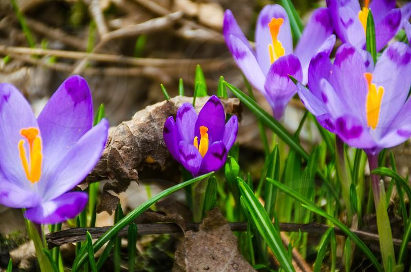 Carpathian wild crocus flowers with grass photo