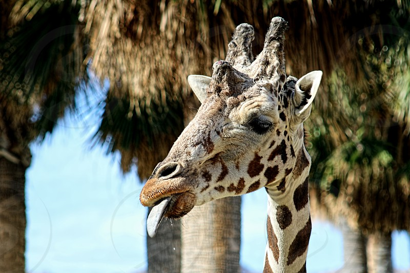 Close-up of of the neck and head of a tall giraffe in a wildlife refuge photo