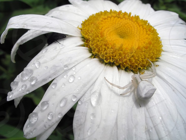 white spider flower mimicry insectsummer macro photo