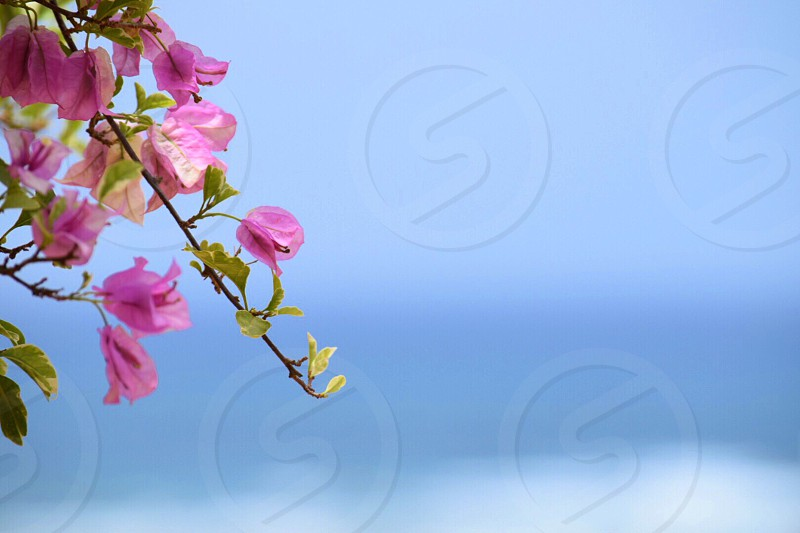 close up photography of bougainvillea lower photo