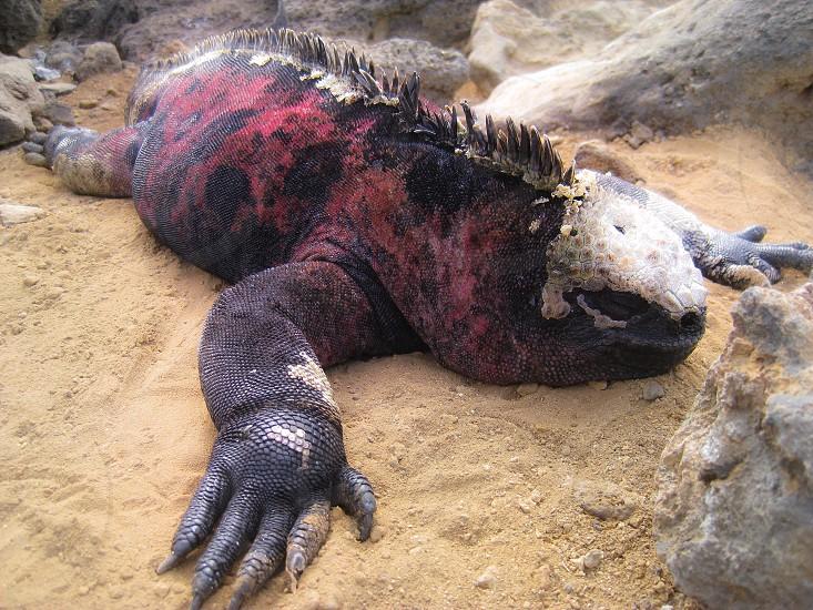 Land iguana gentle sleep dragon  photo