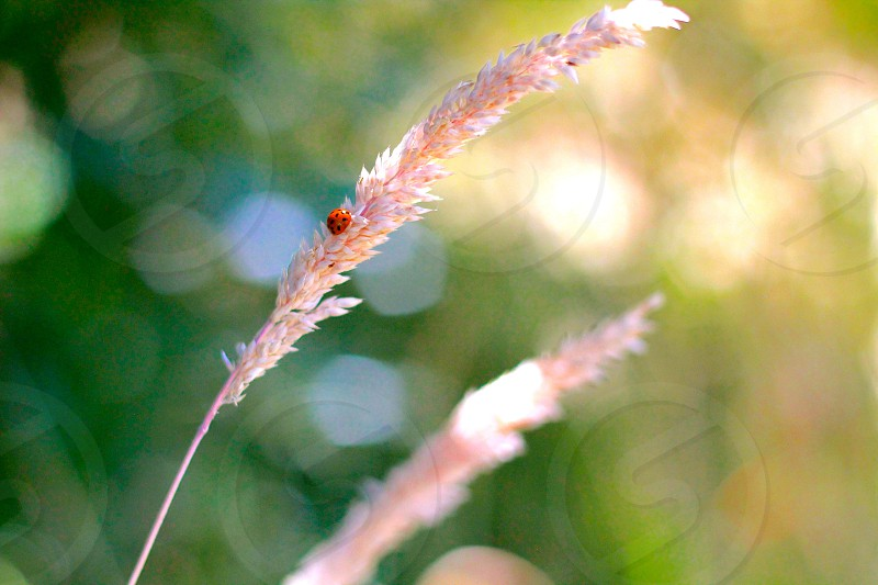 red ladybug on white flower photo