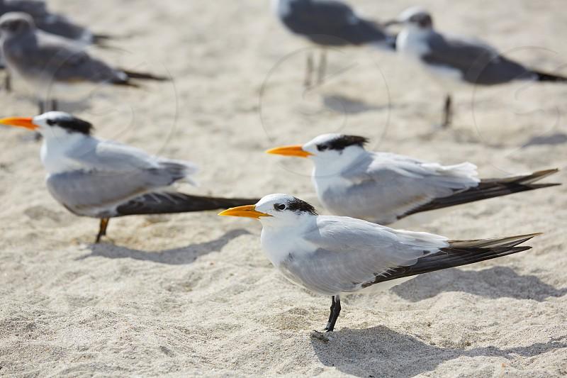 Royal Caspian terns sea birds in Miami Florida South beach USA photo