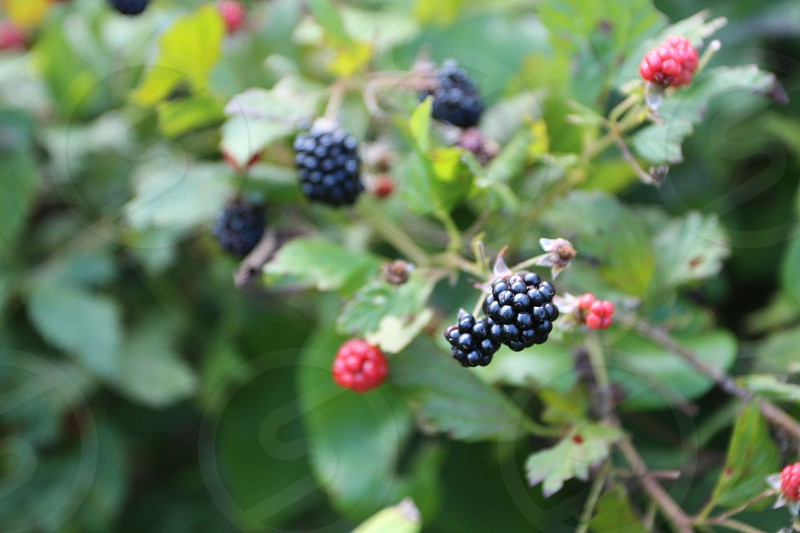 Blackberries on vine photo