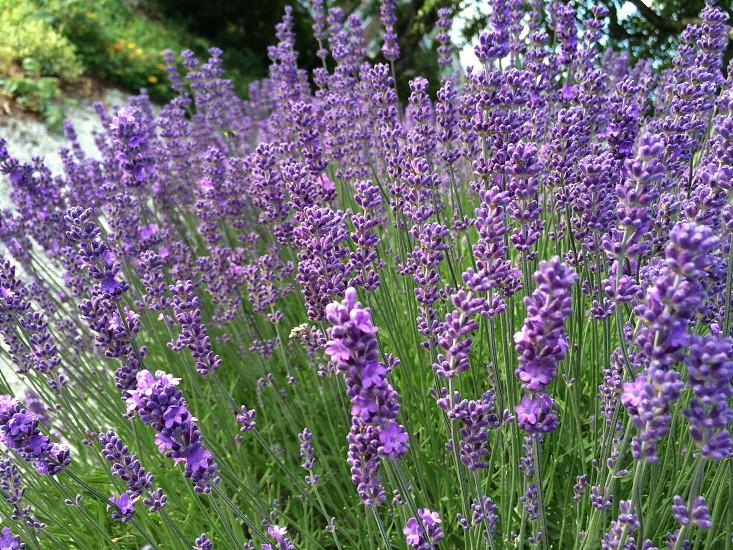 Beautiful lavender photo
