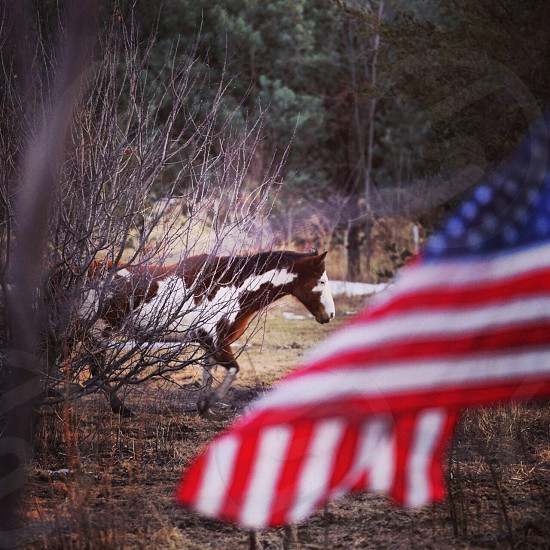 american flag and brown and white horse equine photography   photo