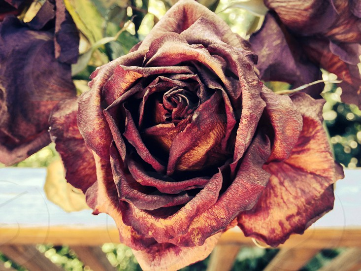 dried brown rose flower photo