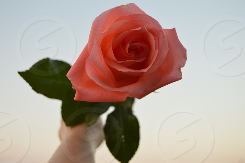rose beauty pink hand  photo