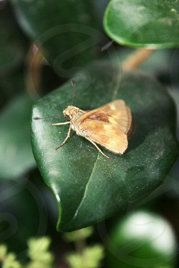 A Poanes hobomok butterfly on a leaf photo