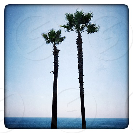 palm trees by the ocean photo