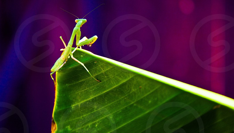 green praying mantis on green banana leaf photo