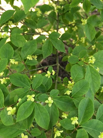 ニシキギ(Euonymus alatus) photo