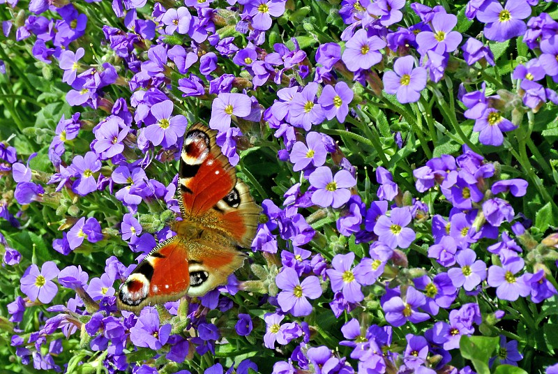 peacock butterfly on flower photo