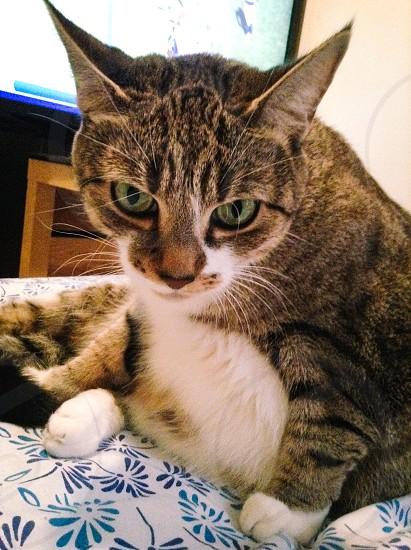 Kitty cat pets furry photo