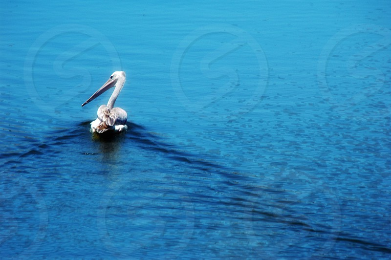 A pelican on the water photo