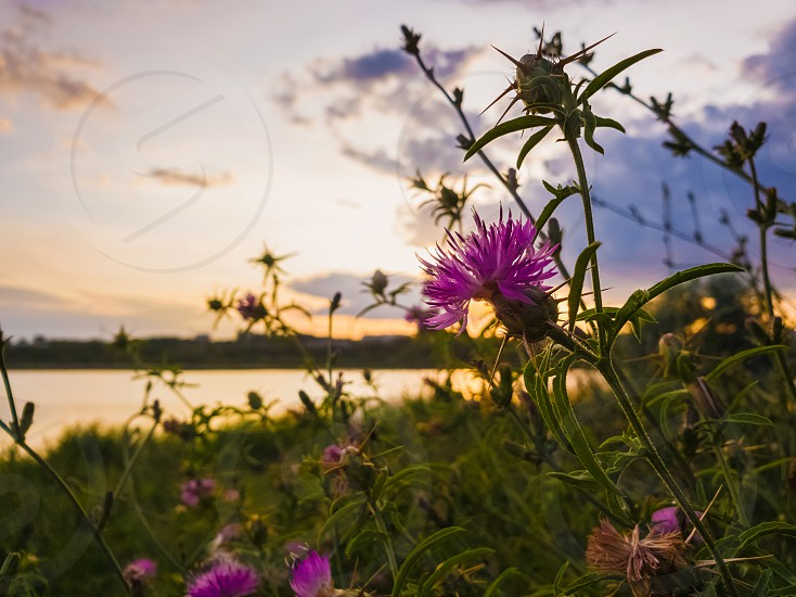 Bushes of spiny purple plants with thistle flowers blooming over sunset sky background. photo