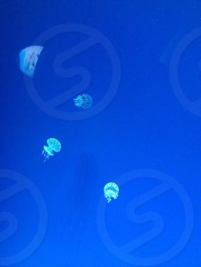 Jelly fish at Ripleys aquarium -Toronto ON photo