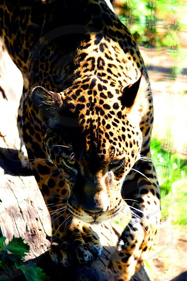 This is a photo of the panther in his habitat at the Sedgwick County Zoo.  photo