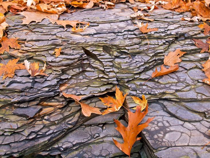 Leaves. Blue shale.  photo