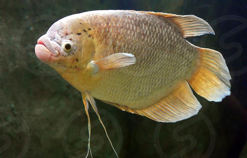 close up photo of black and yellow fish photo