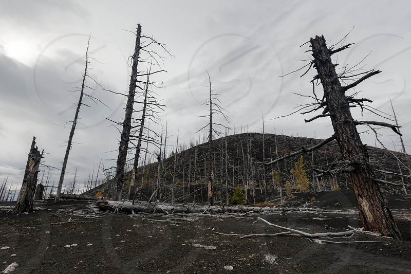"Kamchatka Peninsula volcanic landscape: burnt trees (larch) on volcanic slag ash in Dead Wood (Dead Forest) - consequence of natural disaster - catastrophic eruptions Plosky ""Flat"" Tolbachik Volcano. photo"