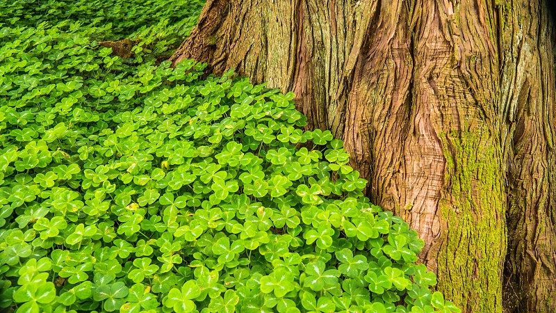 brown tree trunk surrounded by green clover plants during daytime photo
