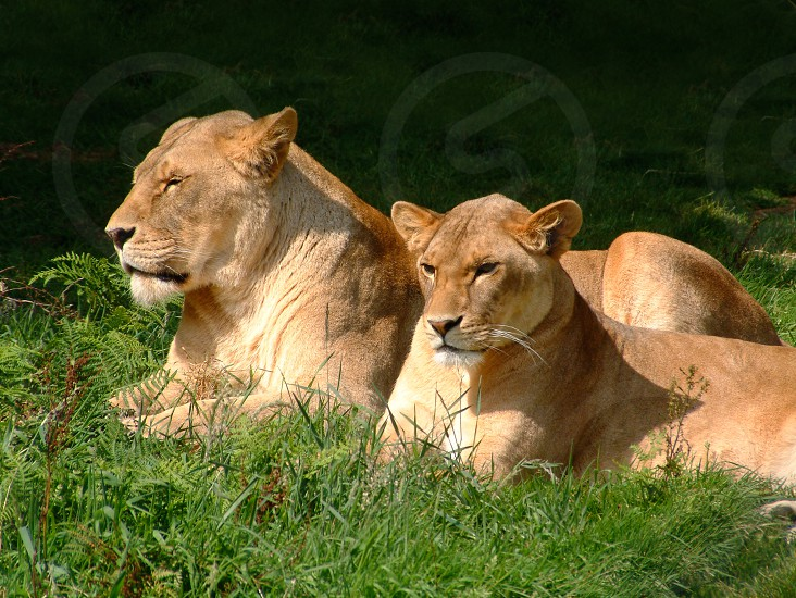 Lioness and cub • lion • wild cat • king of the jungle photo
