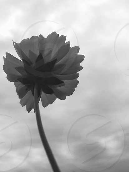 greysclae photography of daisy flower at cloudy time photo