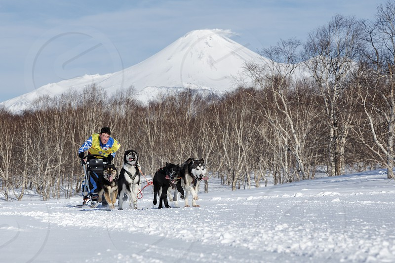 PETROPAVLOVSK KAMCHATKA PENINSULA RUSSIA - FEB 25 2017: Running sled dog team Kamchatka musher Tishkin Vitaly. Kamchatka Sled Dog Racing Beringia Russian Cup of Sled Dog Racing (snow disciplines) photo