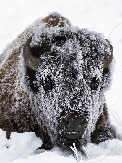 Bull bison covered in frost early one winter morning photo